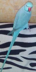 Продам самца ожерелового попугая