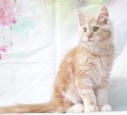 котенок мейн-кун ищет новых родителей