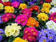 Примула и тюльпан к 14 февраля и 8 Марта