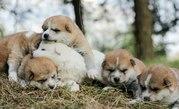 Продам хороших щенки (акита-ину),  от высокопородных родителей.